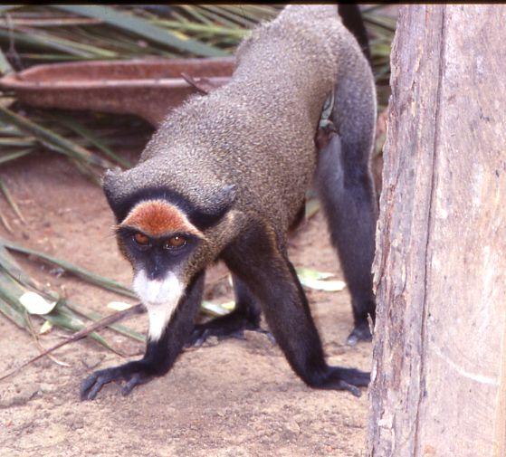 http://jambo.africa.kyoto-u.ac.jp/cgi-bin/CameroonFS/wiki.cgi?action=ATTACH&page=%BF%B9%A4%CE%C6%B0%CA%AA%A4%BF%A4%C1&file=Brazza+Monkey%28Oishi%29%2Ejpg